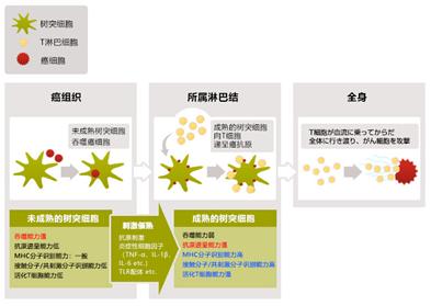 树突细胞成长过程