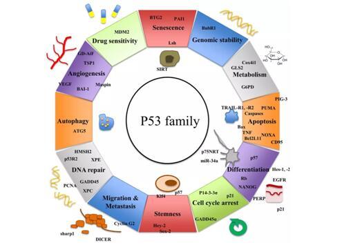 P53癌症疫苗和PD-1抗体联合治疗的方式充满前景